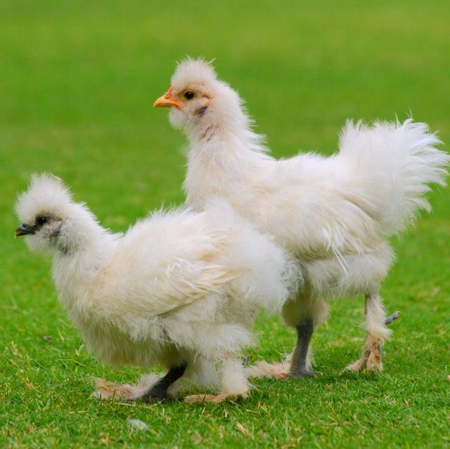 On Martha Stewart Fancy Chickens The New Celebrity Pandemic Pet