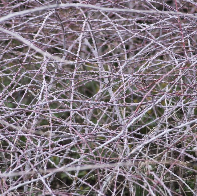 white stemmed bramble