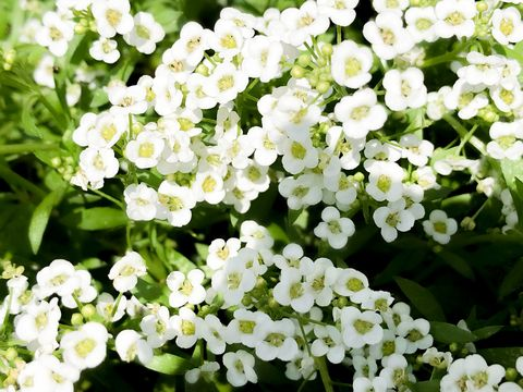 white sweet alyssum blooms