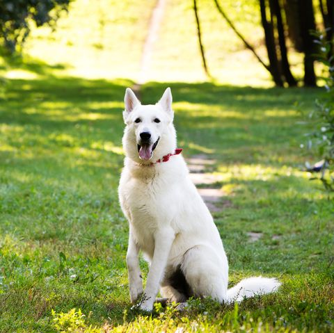 Premium White Swiss Shepherd Dogs Are Being Sold Off As