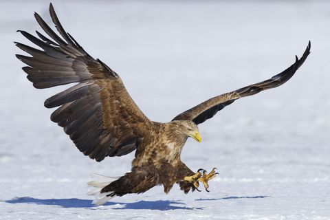 The RSPB launch campaign to increase numbers of the white-tailed eagle