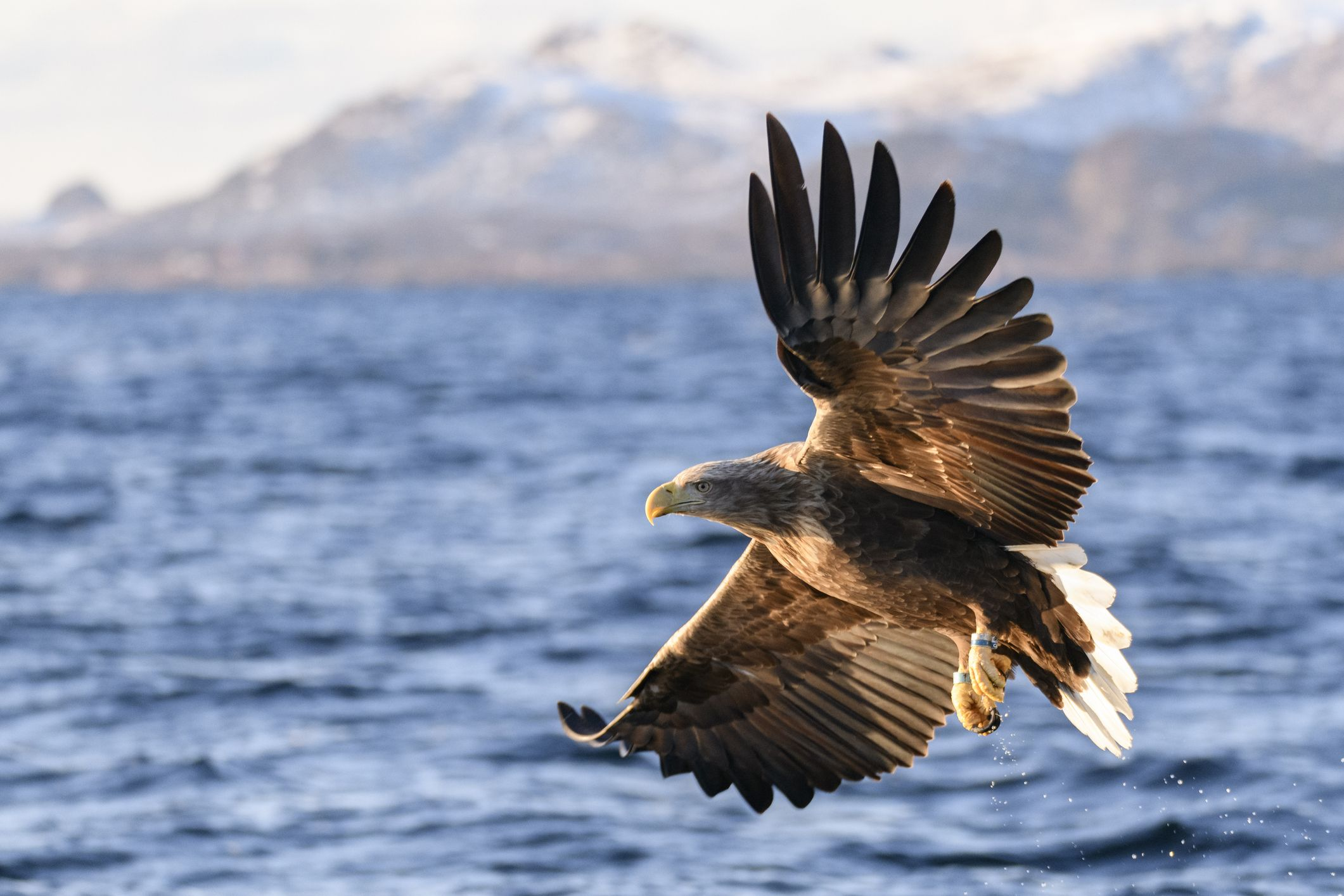 White Tailed Eagles Spotted For The First Time In 240 Years