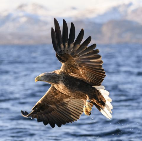 White-tailed eagle or sea eagle fisihing in a Fjord in Northern Norway