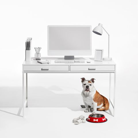 White, Canidae, Dog, Table, Product, Furniture, Companion dog, French bulldog, Room, Dog breed,
