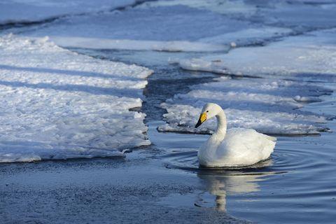 Whooper Swan (Cygnus cygnus) floating on ice-free section of a frozen lake, Kussharo Lake, Kawayu Onsen, Hokkaido, Japan