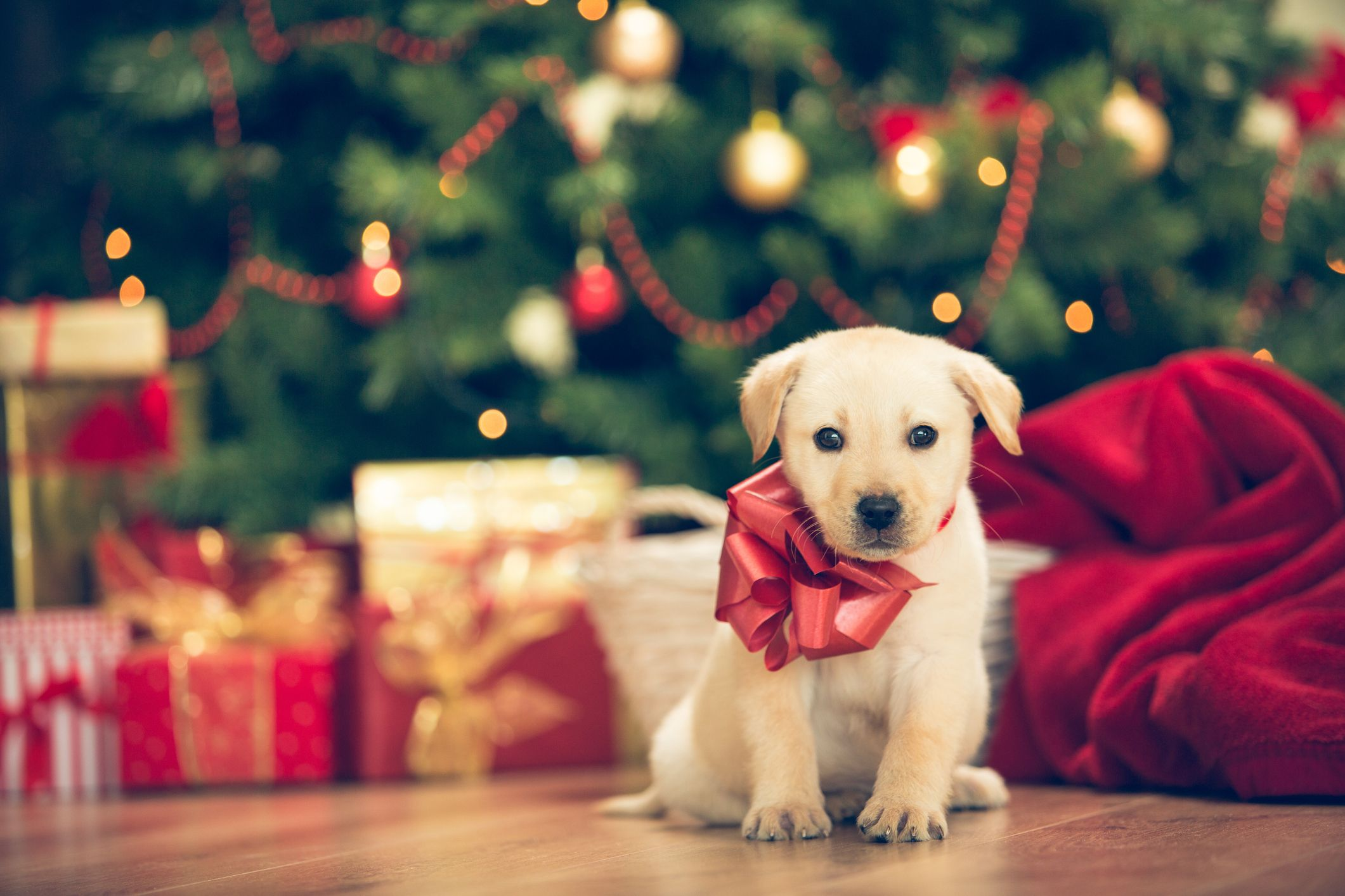 Do Pets Make Good Gifts The Right Way To Gift A Dog Or Cat