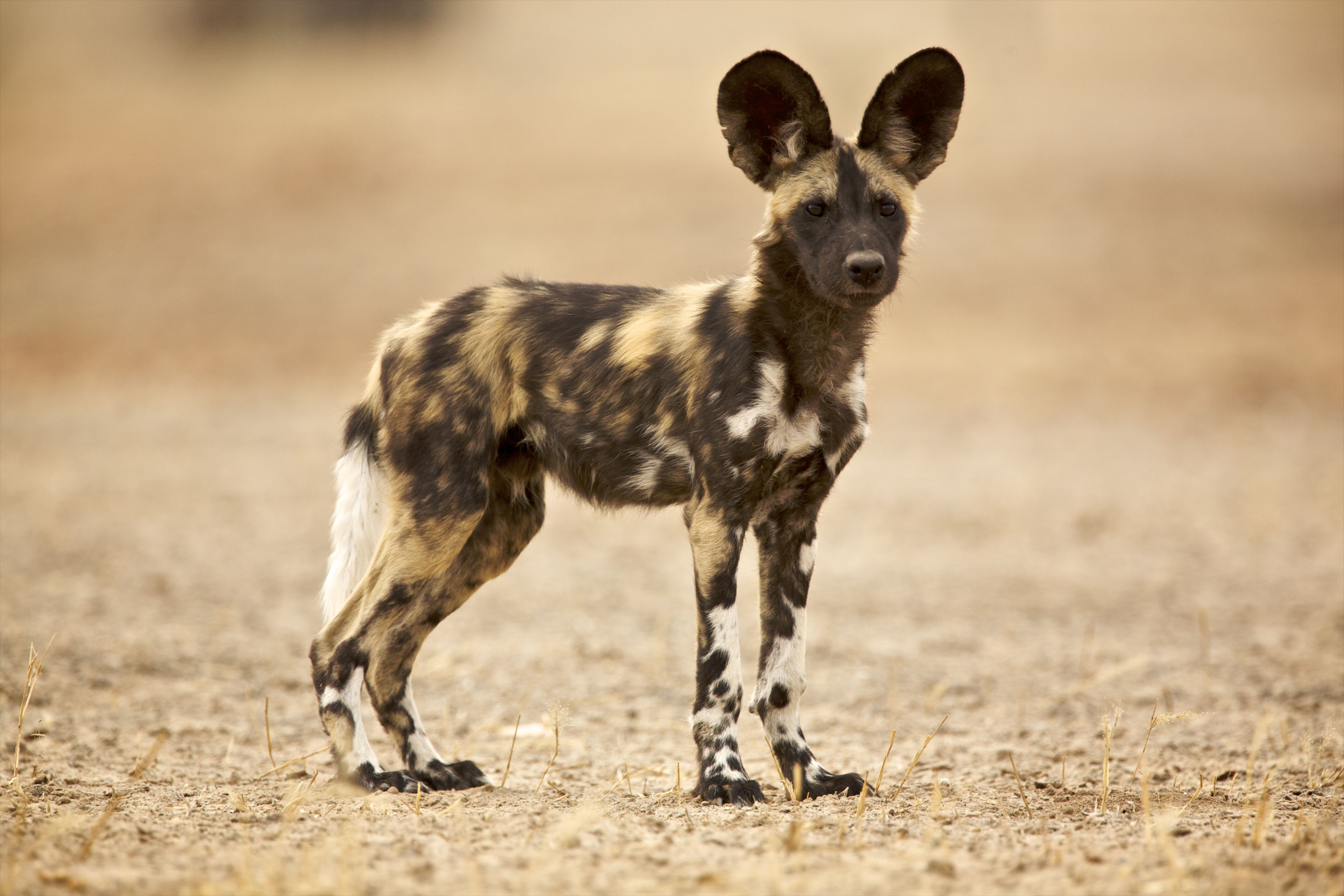 Wild Dog - Laycaon pictus - a young pup