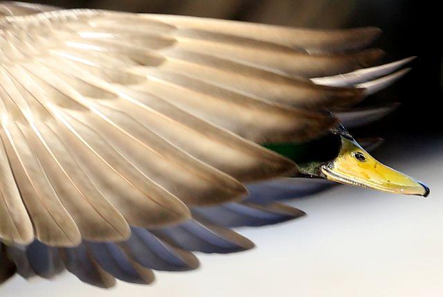 ducks spend winter at peterhof state museum reserve in st petersburg