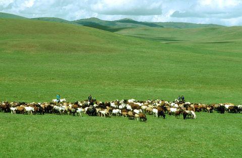 Wild Mongolian horses grazing in the grassland...