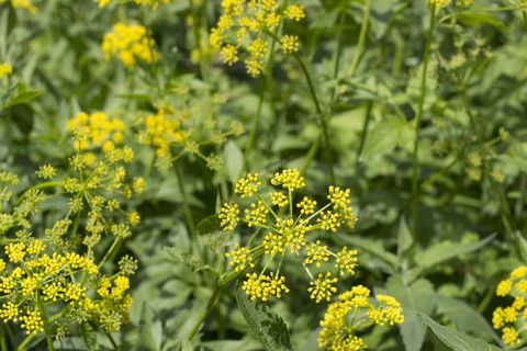 Wild Parsnip Plants