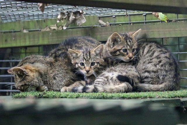 reintroduce wildcats