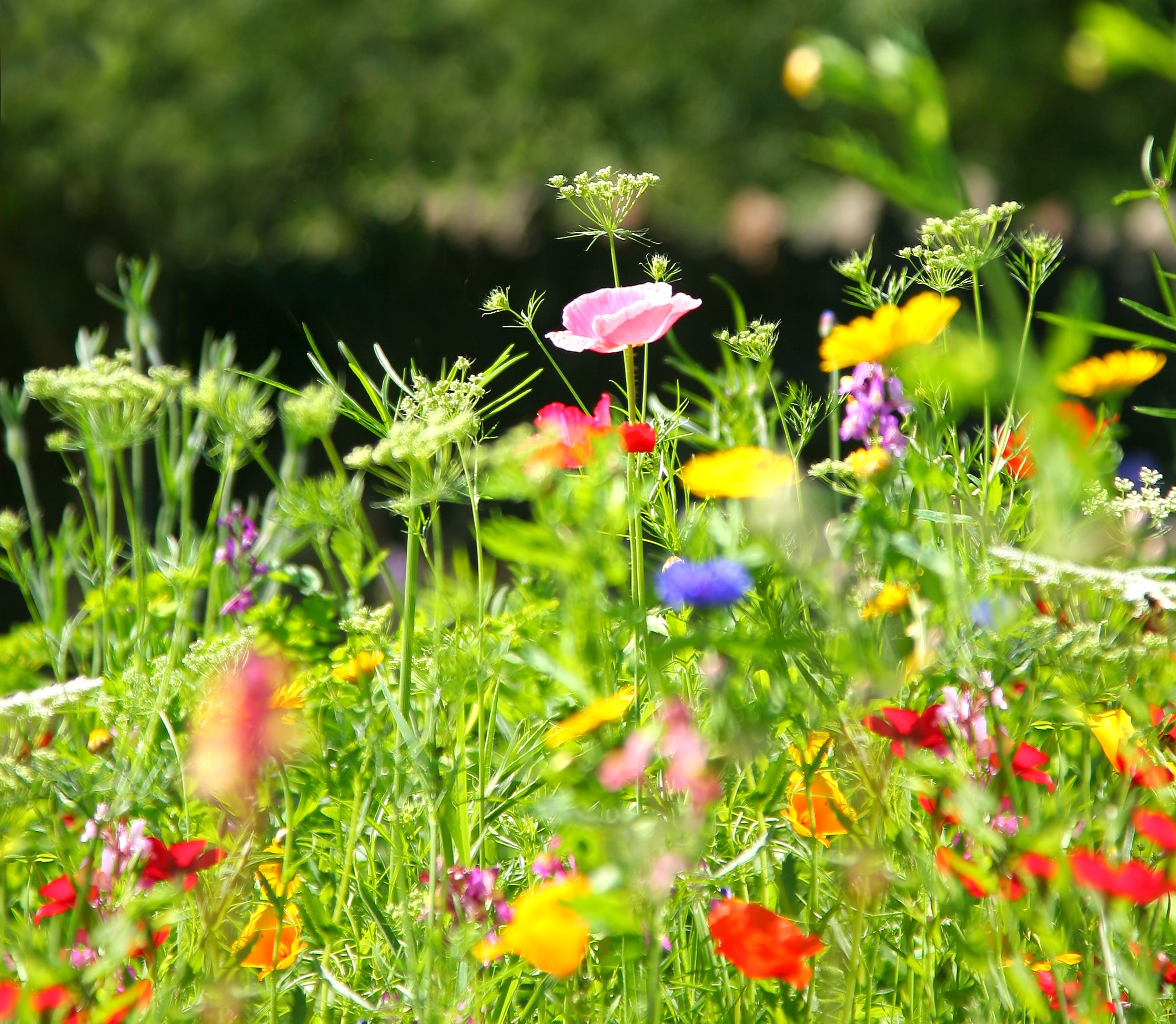 6 steps to sowing wildflower seeds in your garden