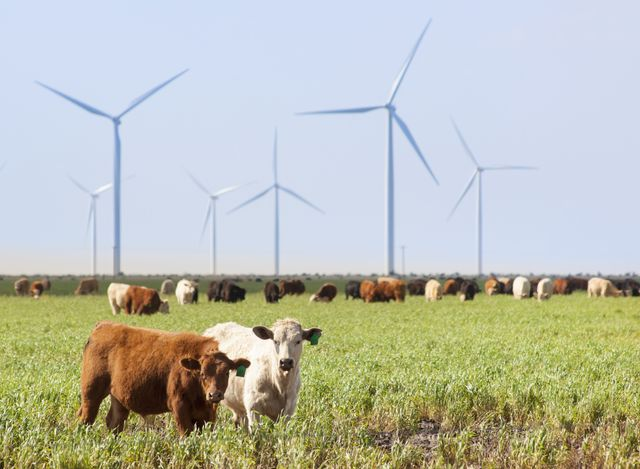 wind turbines, texas with cattle in foreground