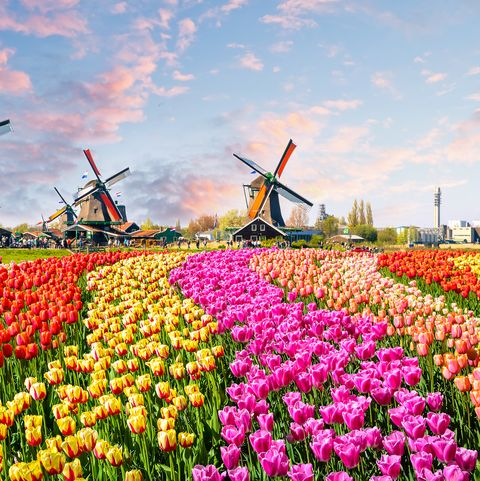 See Amsterdam S Tulips With Gardeners World Stars On Our