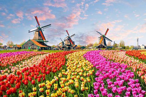 garden holidays   tulips in amsterdam