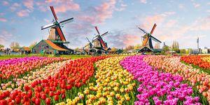 Amsterdam tulips holiday