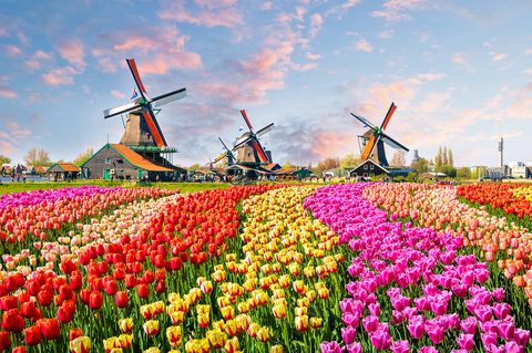 See Amsterdam's tulips with Chelsea Flower Show stars on our exclusive holiday