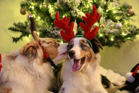 Britain\'s dogs have been dressing up for Christmas for Macmillan ...