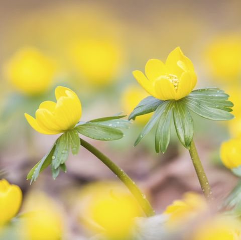 Winter Aconite -Eranthis hyemalis-, Hesse, Germany