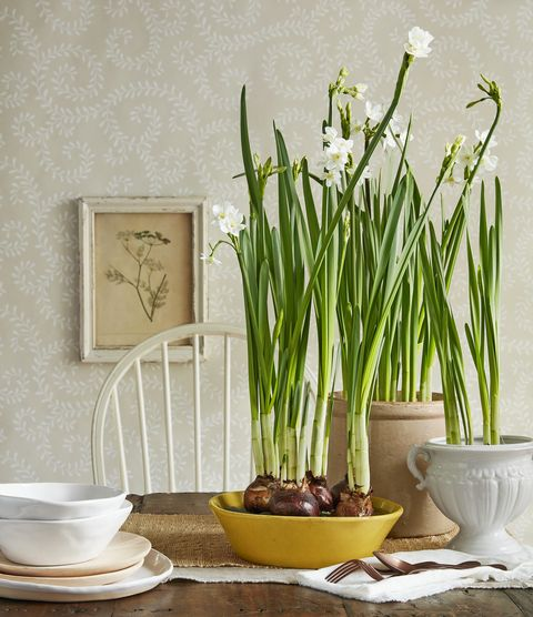 paperwhites flowers on a table