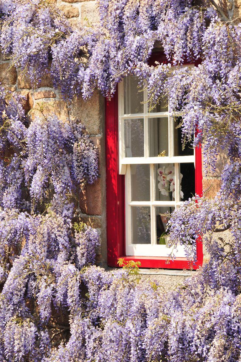 12 Fast-Growing Flowering Vines - Best Wall Climbing Vines ...