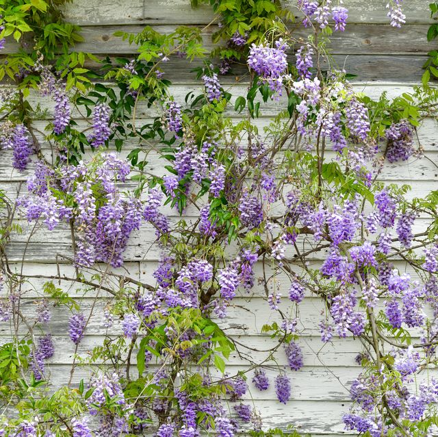 wisteria on white wood wall