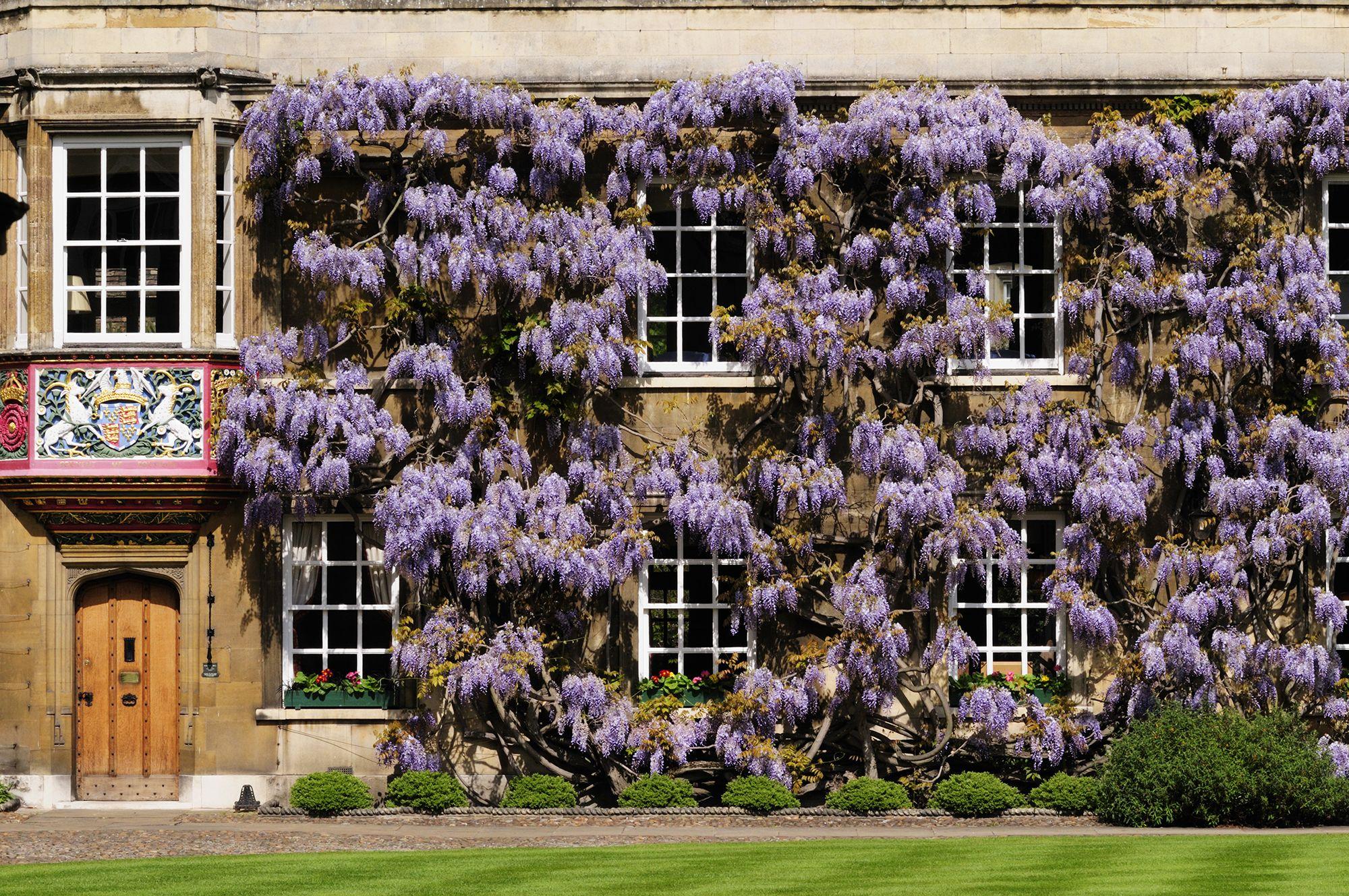 Wisteria growing on University of Cambridge