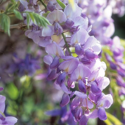 wisteria sinensis prolific close up of lilac flower, june