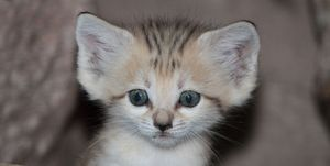 woestijnkat