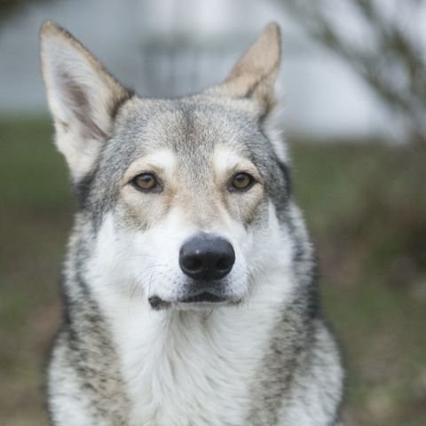 Wolf-Dog-Breeds-2-Saarloos-Wolfdog