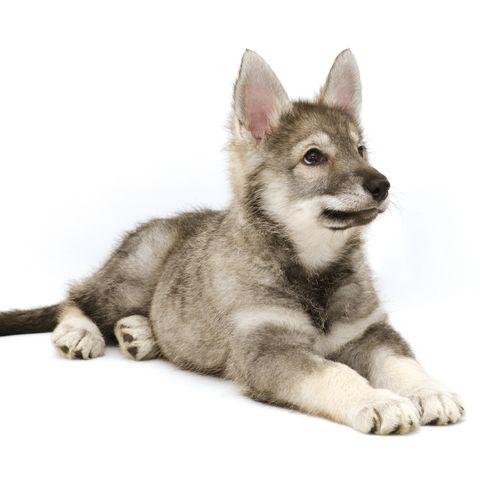 Wolf-Dog-Breeds-Tamaskan