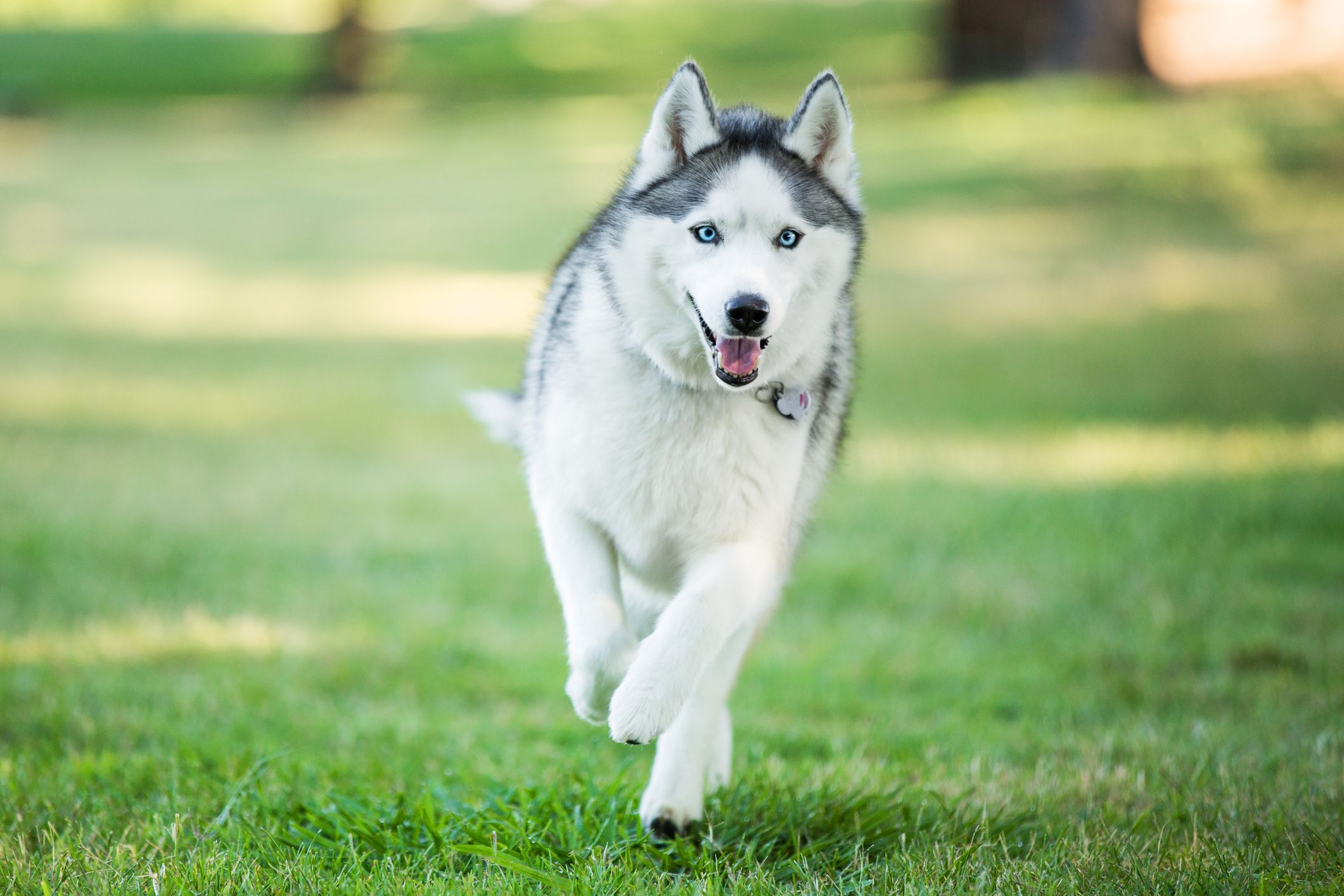 13 Wolf-Life Dog Breeds That Make Great Family Pets