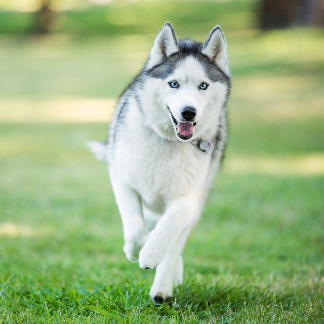 13 Wolf Dog Breeds Siberian Husky