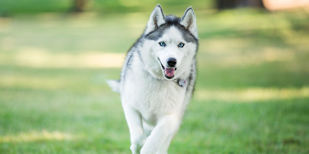 13 Wolf Dog Breeds Siberian Husky Northern Inuit Dog And More