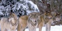RWC Media: Wolf Pack!