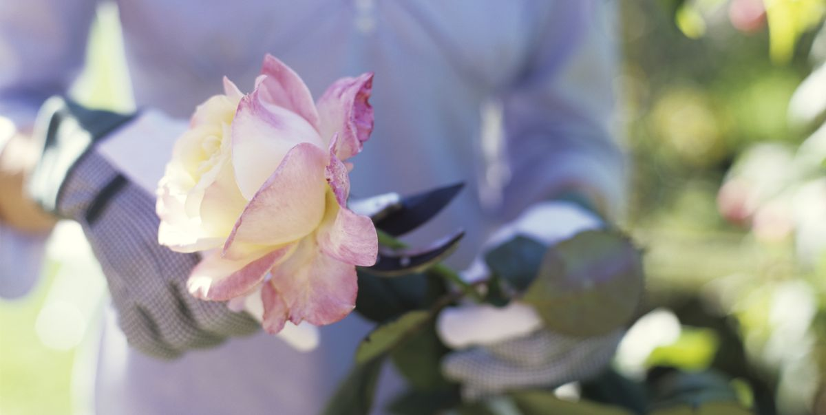 How to take rose cuttings: 5 simple steps to grow roses from cuttings