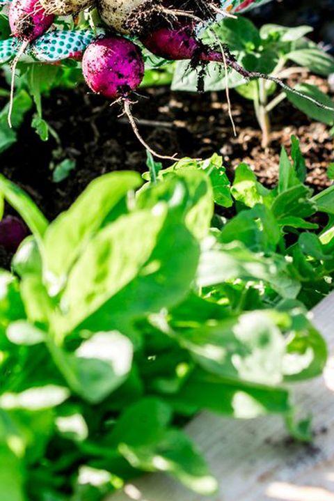 woman picking radish in garden