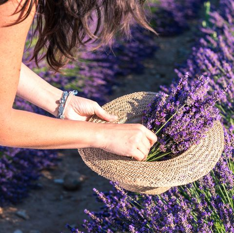 woman picking up lavender flowers, close up