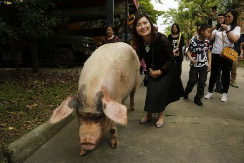 Snout, Organism, Domestic pig, Fur, Livestock, Suidae,