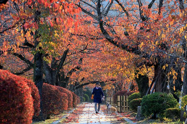people enjoy autumn colors in kyoto