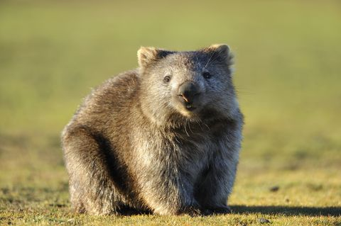 Mystery of Square Wombat Poop Revealed