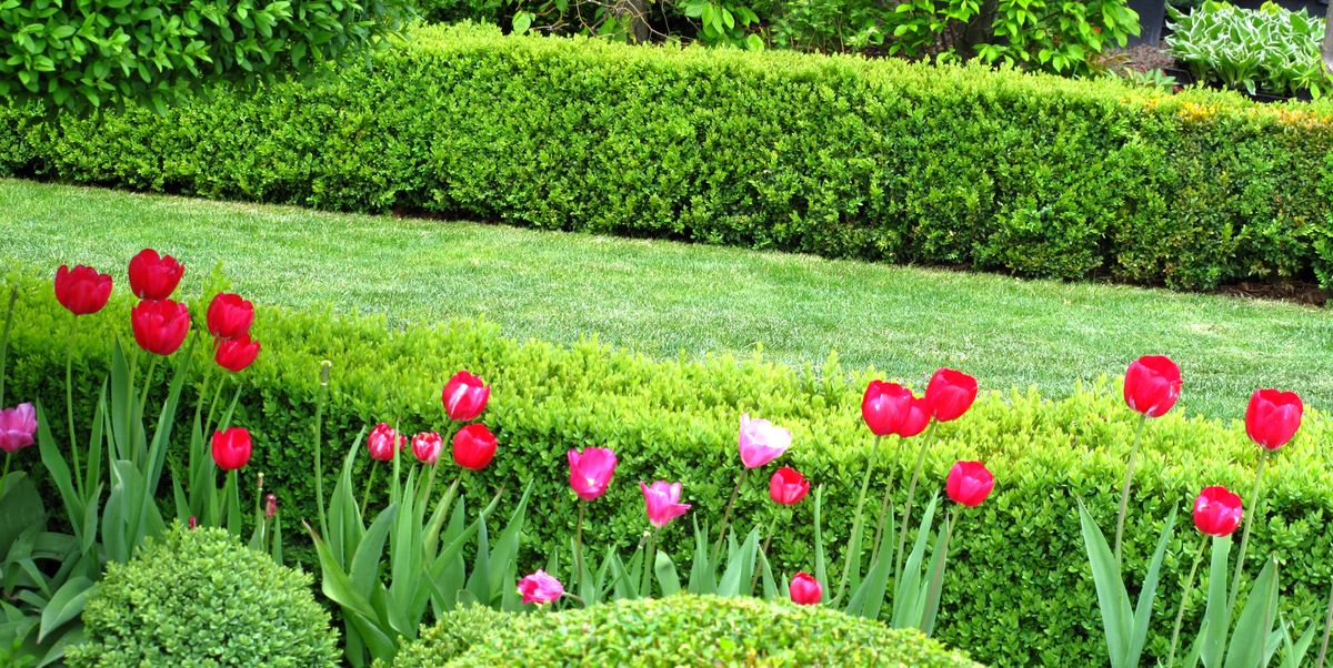 How To Grow Boxwood Boxwood Varieties That Avoid Blight