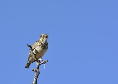 Woodlark (Lullula arborea) on branch