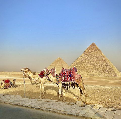 camels with colorful blankets draped over them with the great pyramids of giza in the background