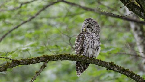 Bird, Owl, Vertebrate, great grey owl, Bird of prey, Western Screech owl, Wildlife, Beak, Branch, Adaptation,