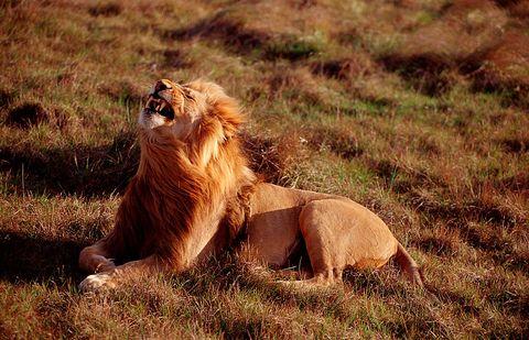 Yawning lion, Panthera leo, South Africa, Kruger National Park
