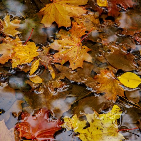 Yellow autumn maple leaves rotting in a rain puddle.