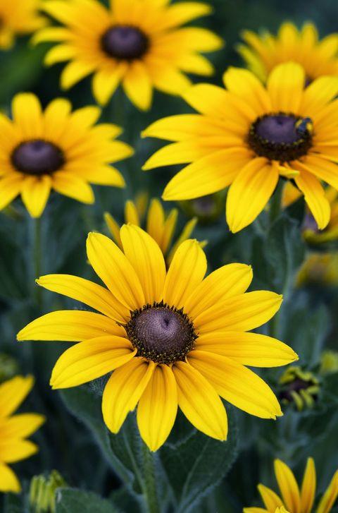 Susans Black Eyed - significados de flores