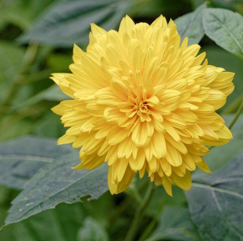 Yellow Dahlia Blossom