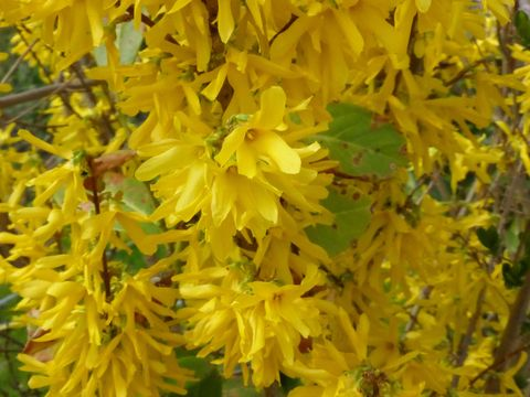 forsythia flowering shrub